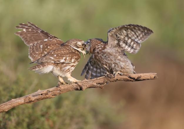 Dorosłe ptaki i pisklęta sówek (athene noctua) są fotografowane z bliska na rozmytym tle.