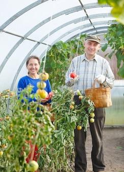 Dorośli mężczyźni i kobiety zbierają pomidory