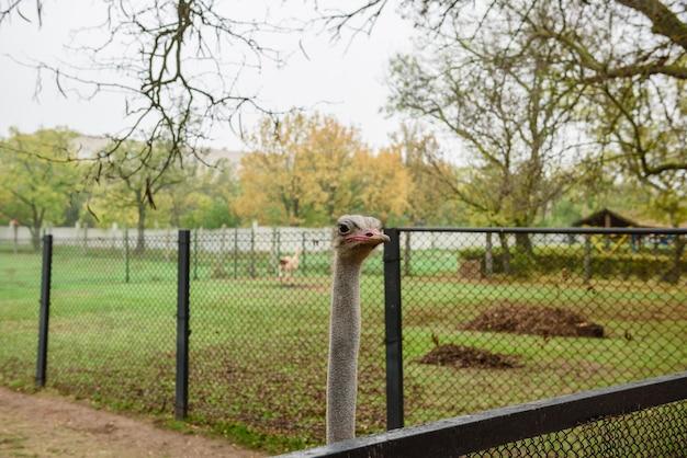 Dorosły afrykański struś w zoo na ciepłym jesień ranku