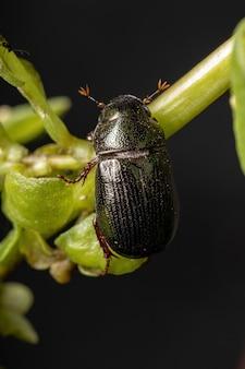 Dorosły chrząszcz czerwcowy z podrodziny melolonthinae
