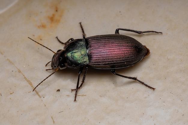 Dorosły chrząszcz naziemny z rodzaju neoaulacoryssus