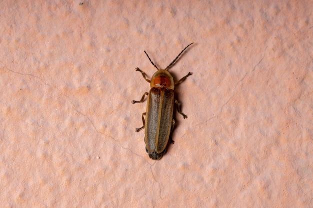 Dorosły chrząszcz świetlika z rodzaju photinus