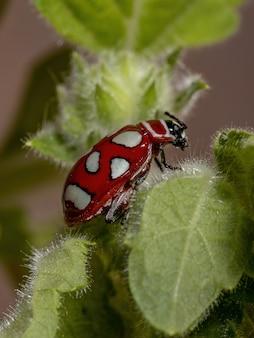 Dorosły chrząszcz z gatunku omophoita argus