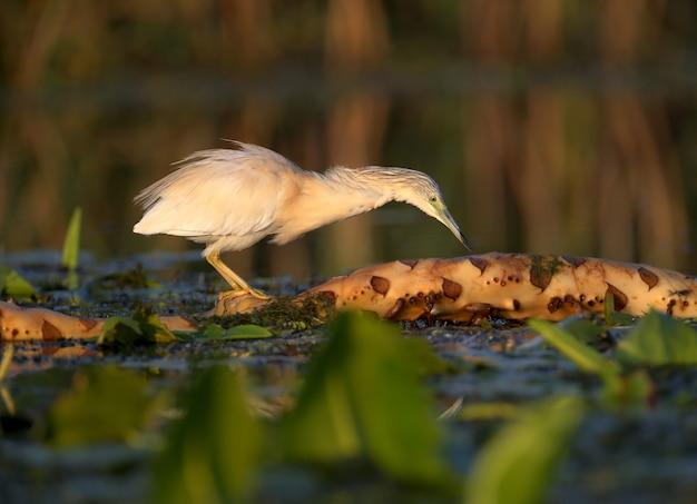 Dorosły czapla zwyczajna (ardeola ralloides) nakręcony w zbliżeniu w miękkim świetle poranka na polowaniu na ryby