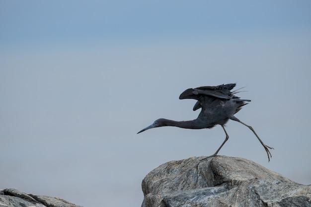Dorosły czapli błękitnej egretta caerulea rozciąganie