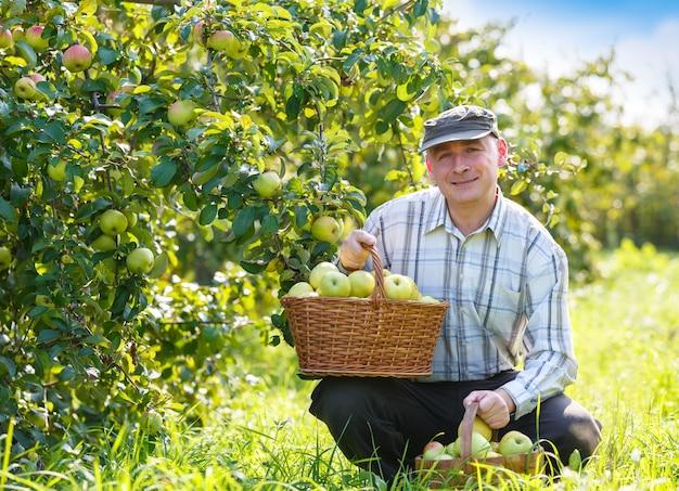 Dorosły człowiek w ogrodzie z koszami zbiorów jabłek