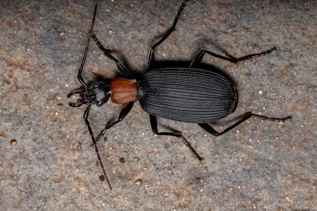 Dorosły fałszywy bombardier beetle z rodzaju galerita