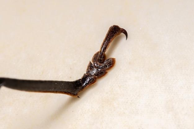 Dorosły gigantyczny imperious sawyer noga z gatunku enoplocerus armillatus