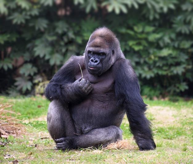 Dorosły goryl wygląda prosto w kamerę z zrzędliwym wyrazem twarzy