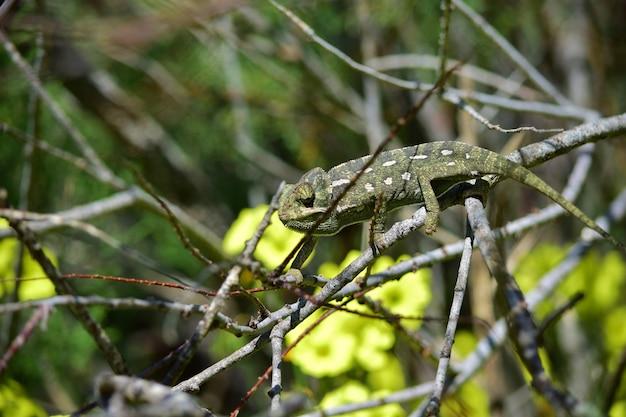 Dorosły kameleon śródziemnomorski spacerujący wśród afrykańskich gałęzi tamaryszku i kwiatów szczawiu przylądkowego