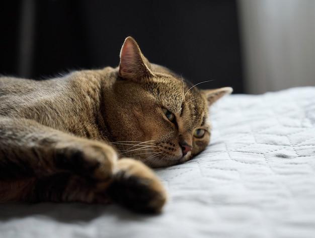 Dorosły kot krótkowłosy rasowy scottish straight śpi na szarej narzucie, z bliska