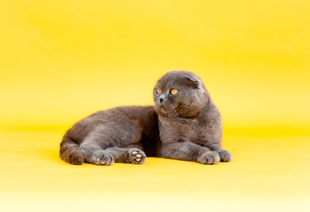 Dorosły krotnie szary kot szkocki zwisłouchy leży na żółtym tle. zdjęcie studyjne