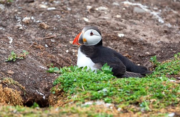 Dorosły maskonur przebywa w pobliżu swojego gniazda w dziurze na wyspach farne w anglii w okresie letnim