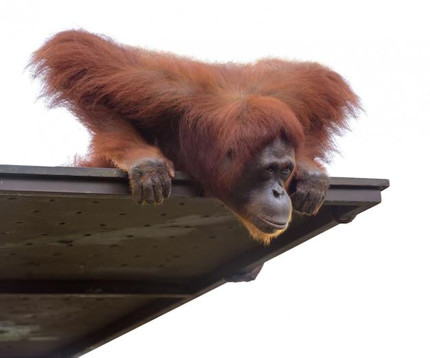 Dorosły orangutang patrzy w dół z platformy, odizolowany