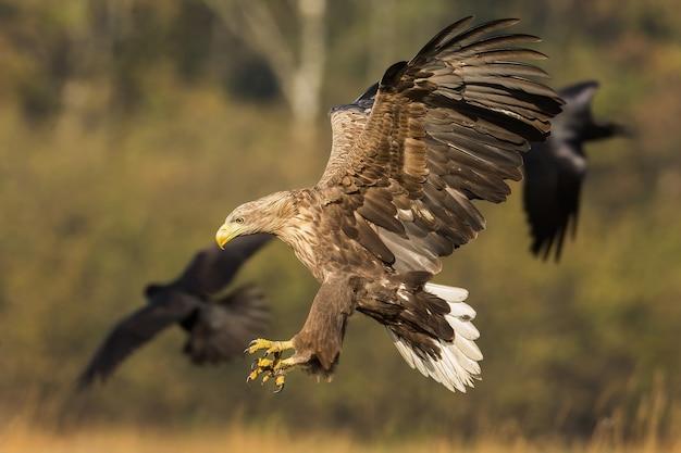 Dorosły orzeł bielik ląduje w jesiennej przyrodzie z rozpostartymi skrzydłami