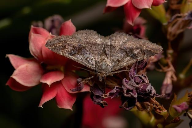 Dorosły osobnik ćmy z rodziny erebidae w roślinie