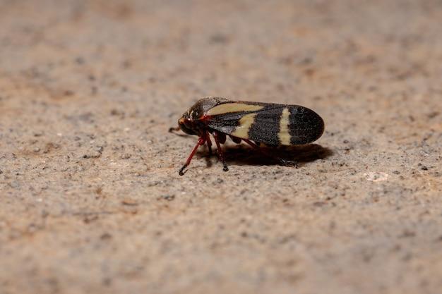 Dorosły owad froghopper z gatunku deois flavopicta