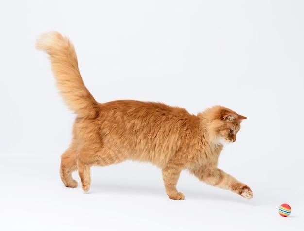 Dorosły puszysty czerwony kot bawi się czerwoną piłką na białym tle