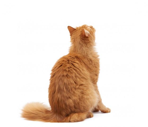 Dorosły puszysty kot siedzi tyłem do aparatu i podnosi wzrok
