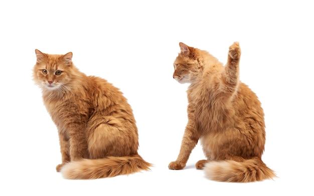 Dorosły puszysty rudy kot siedzi i uniósł przednie łapy do góry