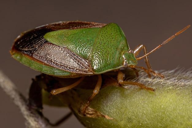 Dorosły robak śmierdzący z gatunku edessa meditabunda