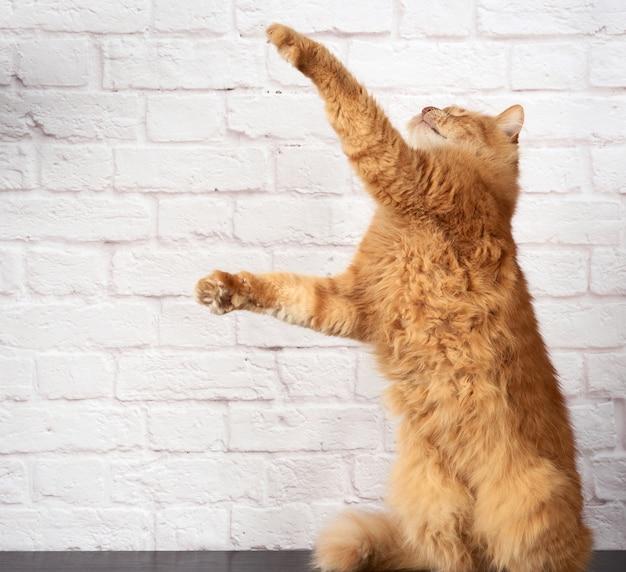 Dorosły rudy kot skacze i unosi łapę na białej ceglanej ścianie