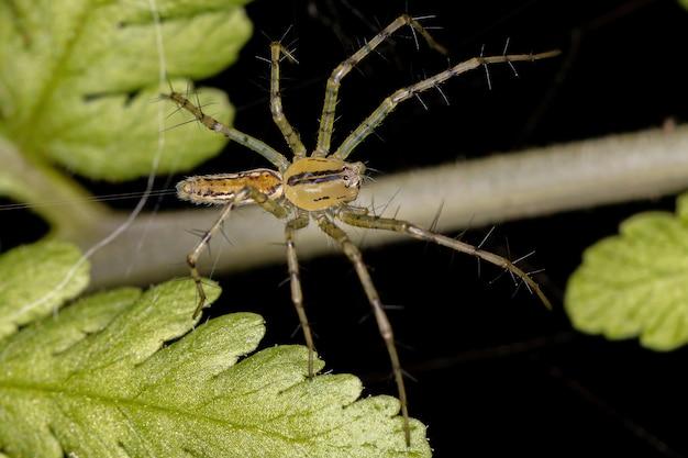 Dorosły ryś pająk gatunku peucetia rubrolineata