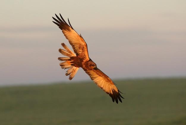 Dorosły samiec błotniaka stawowego, lecący z pierwszym światłem świtu w mroźny zimowy dzień