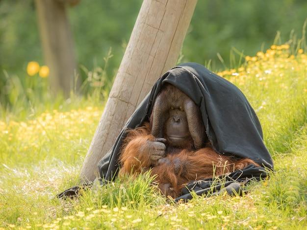 Dorosły samiec bornean orangutan - pongo pygmaeus
