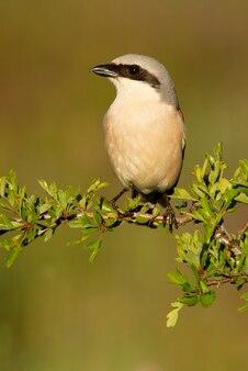 Dorosły samiec gąsiorka na swoim terytorium lęgowym z pierwszym światłem dnia w śródziemnomorskim buszu z ciernistymi krzewami