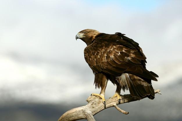Dorosły samiec golden eagle od pierwszego dnia, aquila chrysaetos