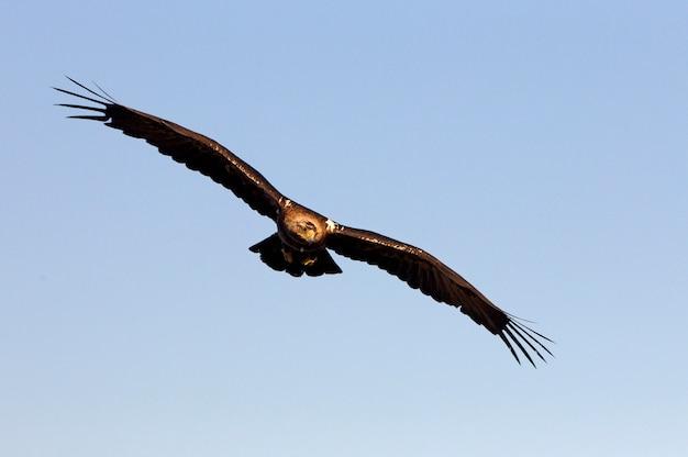 Dorosły samiec hiszpańskiego orła cesarskiego latającego. aquila adalberti