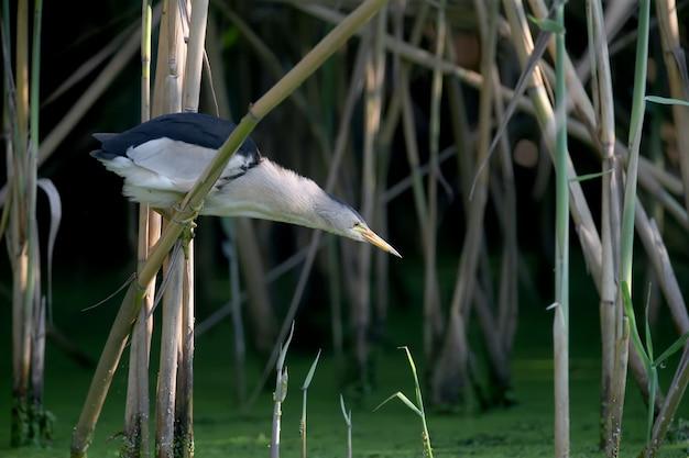Dorosły samiec i młody bączek są sfotografowani z bliska podczas przygotowywania i polowania na żaby w stawie.