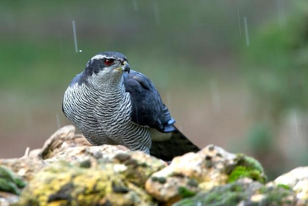 Dorosły samiec jastrzębia północnego z rubinowo-czerwonymi oczami w deszczu z ostatnimi popołudniowymi światłami zimowego dnia w sosnowym lesie