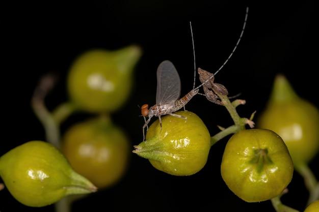 Dorosły samiec jętki widłakowatej z rodziny leptophlebiidae