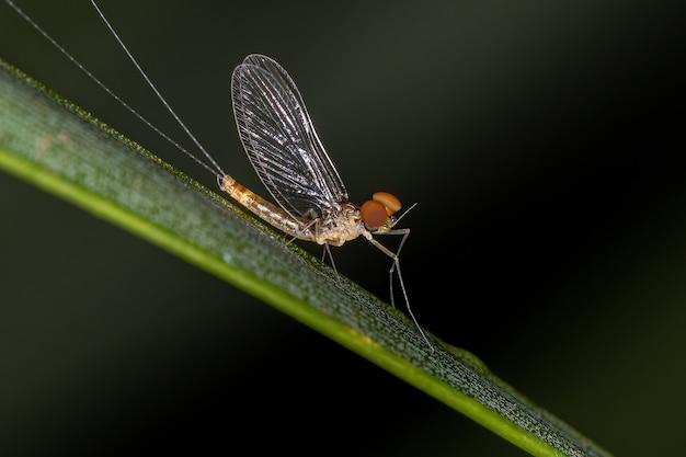 Dorosły samiec mayfly z rodziny baetidae