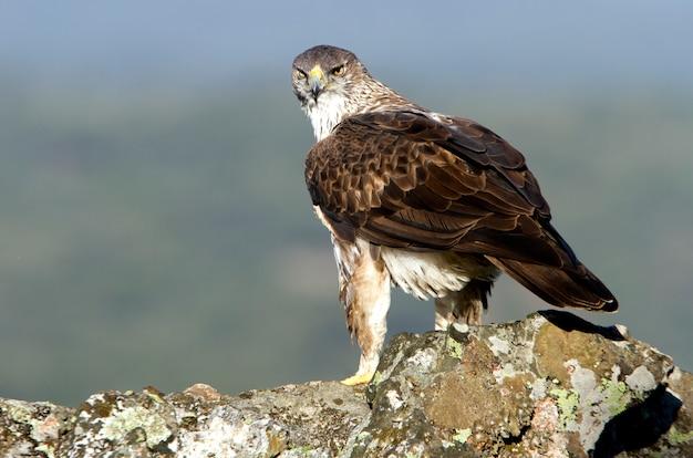 Dorosły samiec orła bonelli, raptory, ptaki