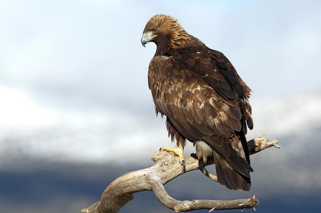 Dorosły samiec orła przedniego na gałęzi w pochmurny dzień