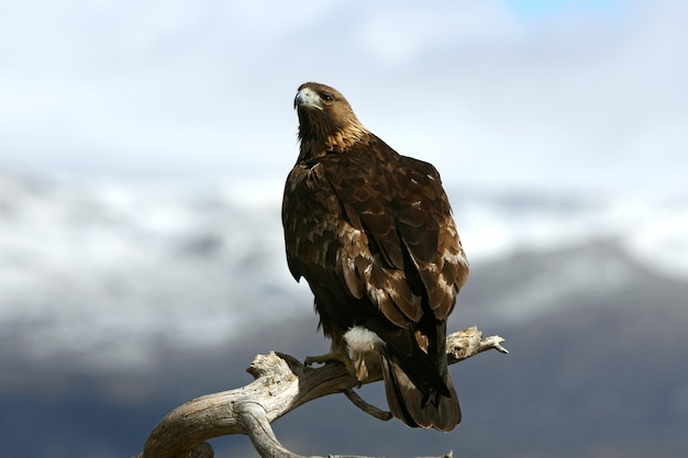 Dorosły samiec orła przedniego, ptaki drapieżne, ptaki