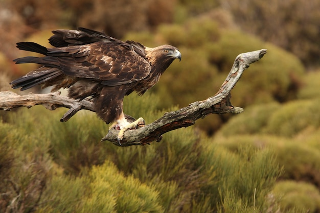 Dorosły samiec orła przedniego