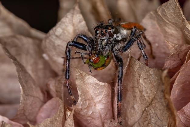 Dorosły samiec pająka skokowego z rodzaju frigga polujący na chrząszcza dyniowatych z gatunku diabrotica speciosa