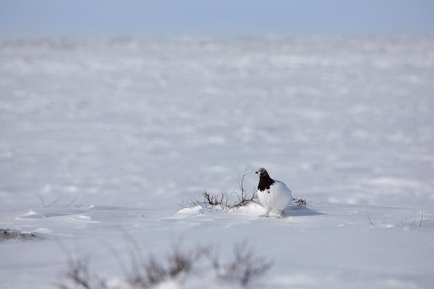 Dorosły samiec pardwy, lagopus mutus, badający swoje terytorium siedząc w śniegu