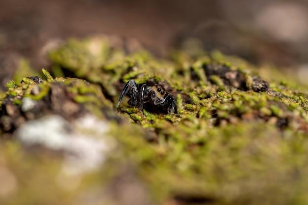 Dorosły samiec skaczącego pająka z rodzaju corythalia na pniu wypełnionym mchem gatunków wyspecjalizowanych w drapieżnych mrówkach
