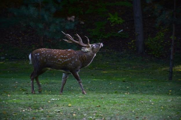 Dorosły samiec z porożami spaceruje po jesiennym parku
