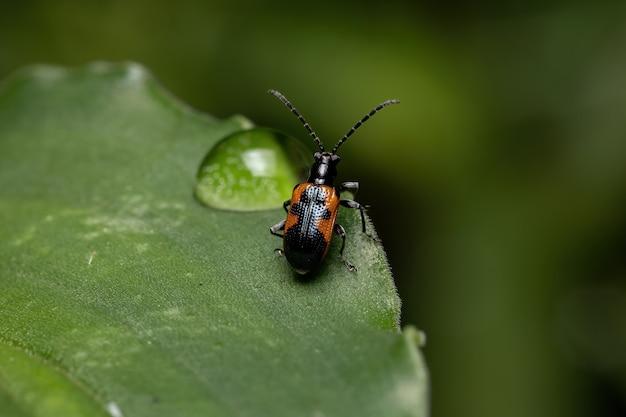 Dorosły shining leaf beetle z rodzaju neolema