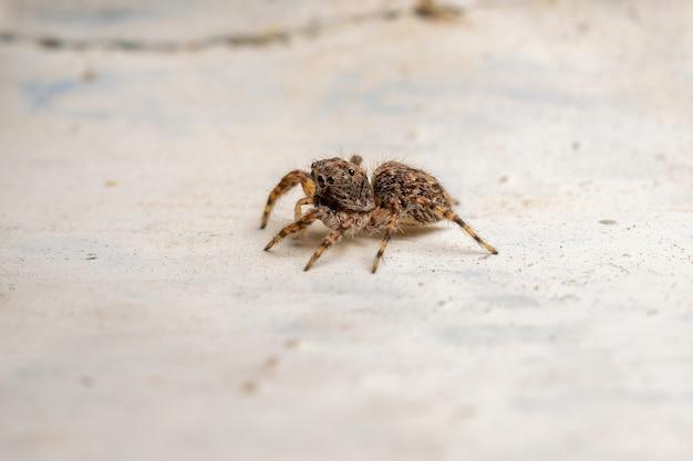 Dorosły skaczący pająk z gatunku marma nigritarsis