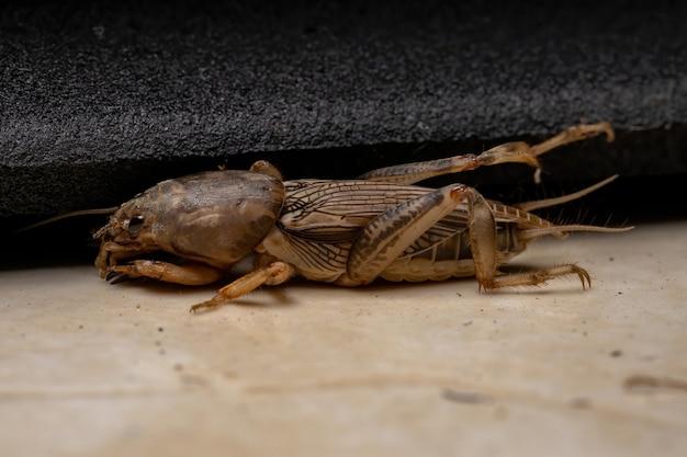 Dorosły świerszcz z rodzaju neoscapteriscus