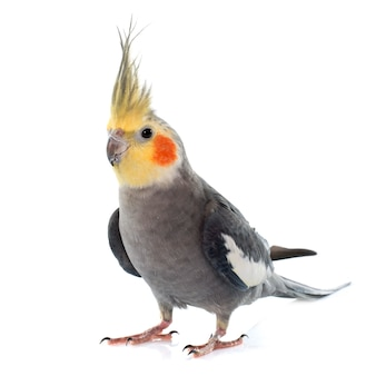 Dorosły szary kakadu