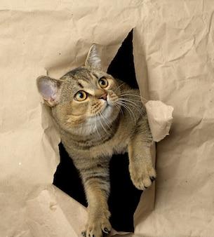 Dorosły szary kot brytyjski z prostymi uszami wyglądający z dziury w brązowym papierze, zabawny pysk