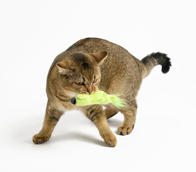 Dorosły szary kot szkocki prosty na białej powierzchni, zwierzę bawiące się zieloną zabawką tekstylną